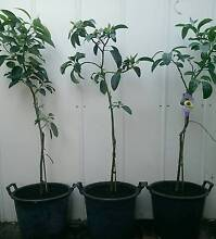 Grafted Avocado Fruit Trees Plants PERTH Hass Landsdale Wanneroo Area Preview