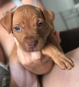 Female American staffy puppy for sale