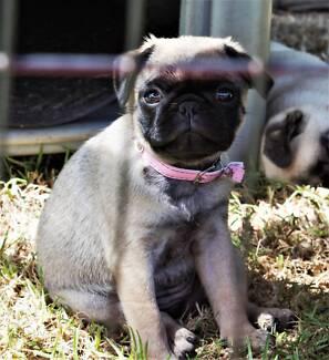 Pug Puppies Female Healthy & Happy