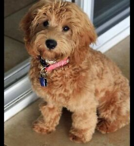 labradoodle | Pets | Gumtree Australia Free Local Classifieds