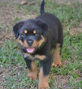 Quality Pedigree Rottweiler Pup Woodford Moreton Area Preview