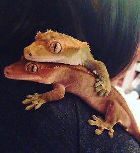 Two adult female crested geckos
