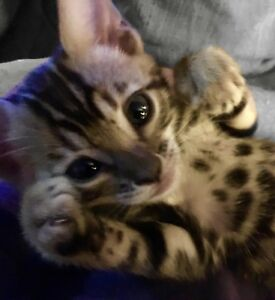 Bengal kittens forsale ready for christmas