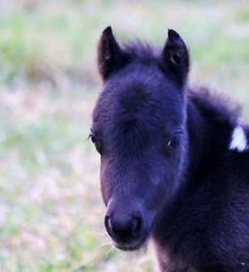 PINTO MINIATURE BABY HORSE $125 PLAN A WEEK Margaret River Margaret River Area Preview