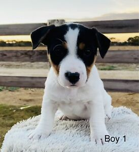 Pure bred Jack Russell Terrier Puppies