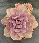 echecactus-flor