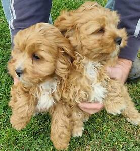 First Generation Toy Cavoodle Puppies
