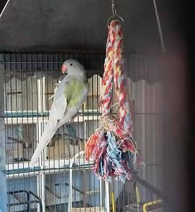 Pastel Cobalt Pied Indian Ringneck Male (Last Years Bird) Ingleburn Campbelltown Area Preview