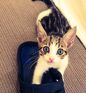 Female kitten Booval Ipswich City Preview