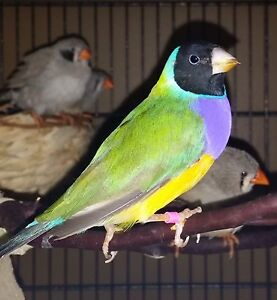 Looking for female Gouldian!
