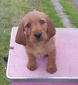 Basset Fauve de Bretagne Puppies Cranbourne Casey Area Preview