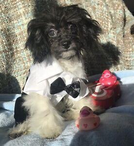Valentine's CKC Registered Toy Poodles
