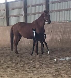 Welsh cross colt