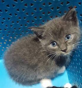 Russian Blue coloured/Tri coloured/Black & White Socks kittens. Dural Hornsby Area Preview