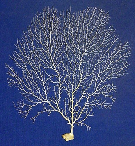 "Natural Dried White Sea Fan Coral Approx. 7"" X 10"" Each"