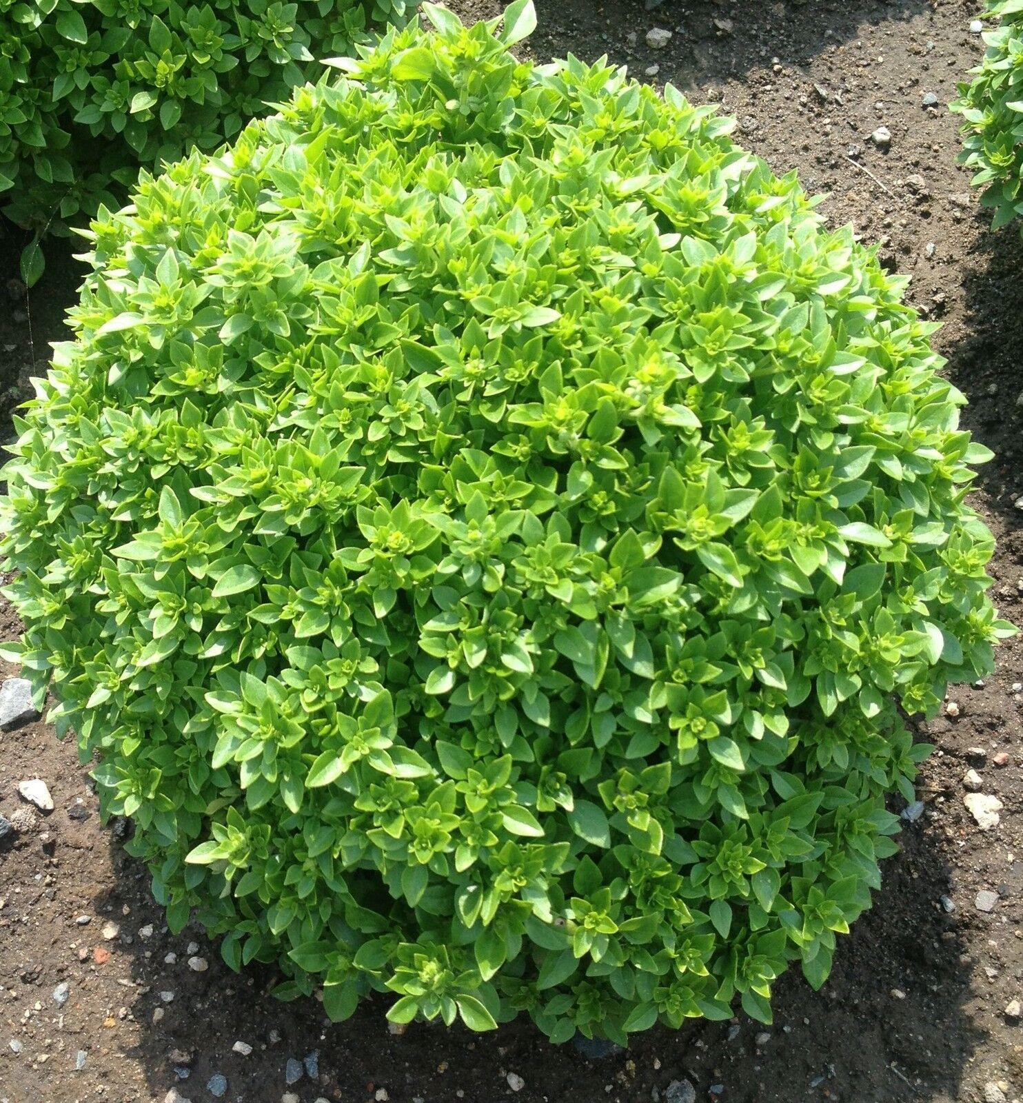 Griechisches Buschbasilikum Bubikopf Mini-Basilikum mit kleinen Blättern