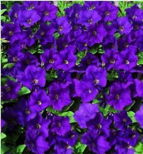 6 Trailing Petunia Surfinia Blue Hanging Basket Patio Plug Plants