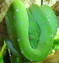 green tree python yearling female Mooloolaba Maroochydore Area Preview