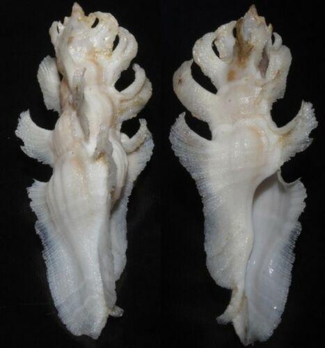 Tonyshells Seashells Pterynotus elongatus CLUB MUREX 52mm F+++ Marine Specimen