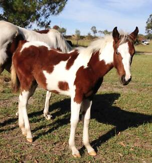 GORGEOUS QHX FILLY Wards River Great Lakes Area Preview