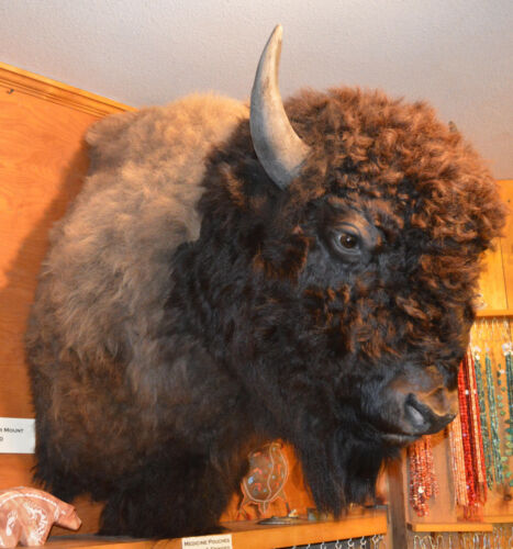 North American Bison (Buffalo) Shoulder Wall Mount with FREE Shipping!