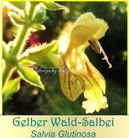 ♥ Gelber Wald Salbei Schatten Staude,Samen,Wein Duft Garten Eimsbüttel - Hamburg Schnelsen Vorschau