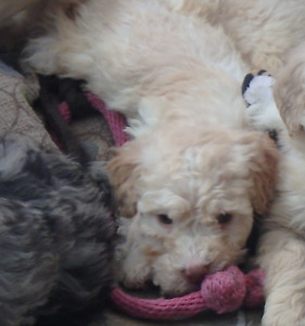 Home Raised Top Quality F1B Golden Doodle Pups