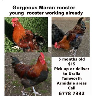 Roosters. French Maran