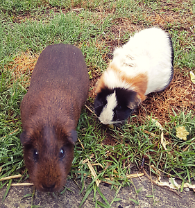 Guinea pigs x 2 Cromer Manly Area Preview