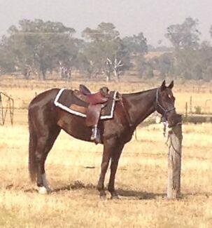 Silverthorn breed Stockhorse gelding