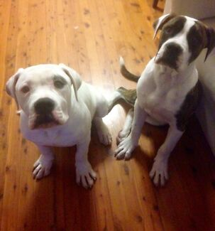 American Bulldogs FREE to a good home only
