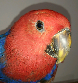 Found Female Eclectus Asquith NSW 15/8/2017
