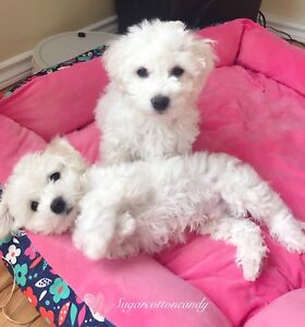 Prince George - 2 Bichon Frise puppies look for new home