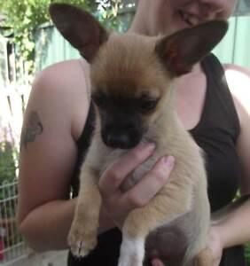 Chihuahua Purebred Lethbridge Park Blacktown Area Preview