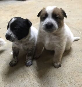Purebred female cattle dogs West Tamworth Tamworth City Preview
