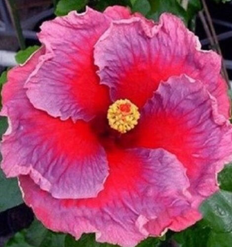 Beautiful Giant Purple & Red Hibiscus Seeds 50 Seeds BUY 4 ITEMS FREE SHIPPING!