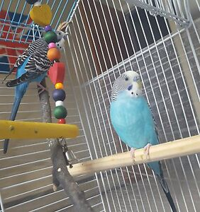 Two beautiful trained budgies for sale!