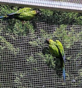 SALE! Nanday Conure Nerang Gold Coast West Preview