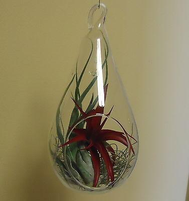Large 7.25 Glass Tear Drop Plant Orb/terrarium Kit With Air Plants