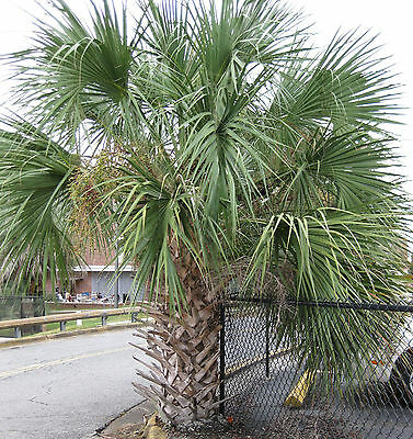 Florida Quality Sabal Palmetto Palm Trees 2 Pack Cold Hardy 10 F
