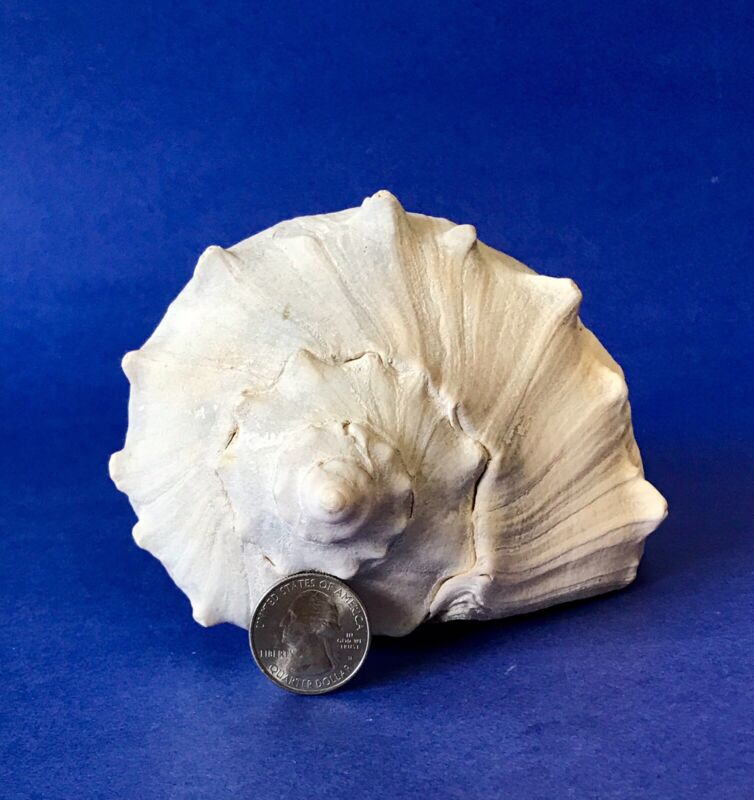 "⭐️1/ 8-3/4"" Long Atlantic Whelk Seashell Right Side Opening Pink Inside Clean"