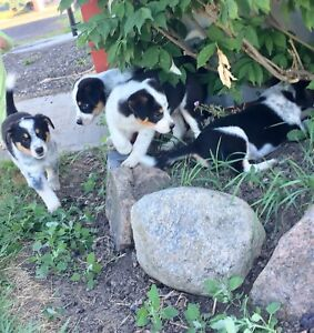 Border collie / blue heeler  puppies