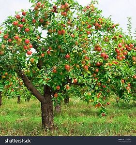 Looking for apple wood or any fruit tree