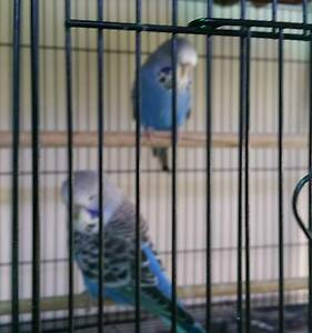 baby english budgies Woody Point Redcliffe Area Preview