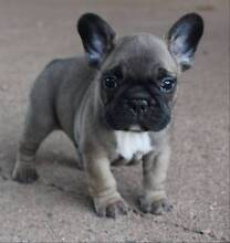 2 fawn male french bulldogs blue and tan carriers Mount Isa Mt Isa City Preview