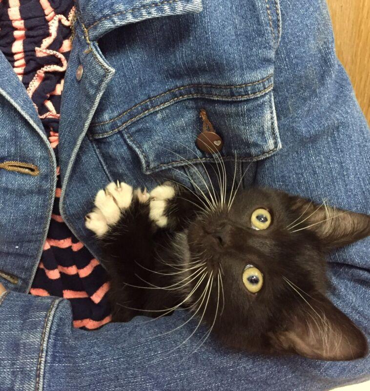 live kitten for sale