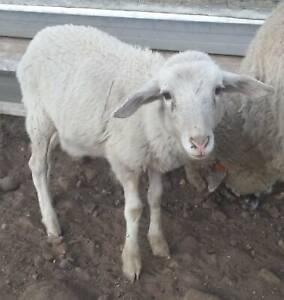 sheep for sale | Livestock | Gumtree Australia Free Local Classifieds