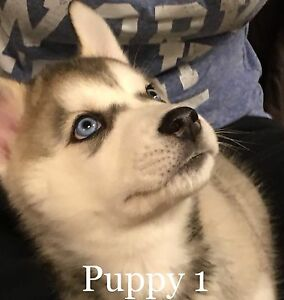 Beautiful Blue Eyed Male Purebred Siberian Husky Puppies