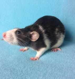 Dumbo rats available
