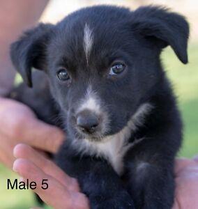 Border Collie x Kelpie Puppies